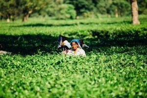 Arbeiten in Indien - natürlich nicht in einer Tee-Plantage